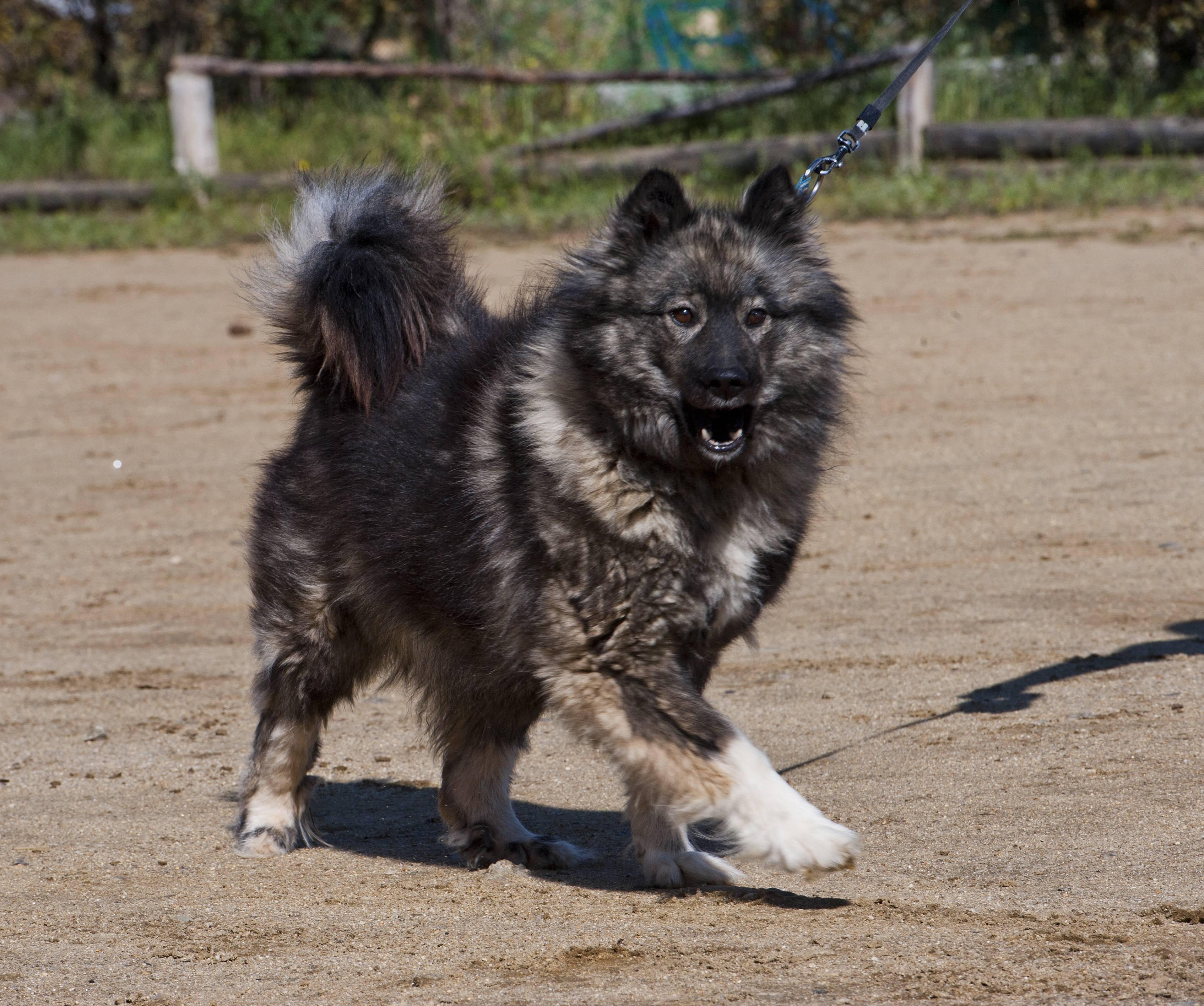 Собаки лайки (83 фото): описание русско-европейских, восточно-сибирских щенков и других разновидностей породы. характеристики и особенности воспитания