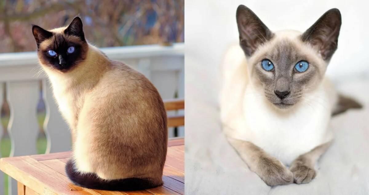 Сиамская кошка: описание породы, уход, содержание, фото