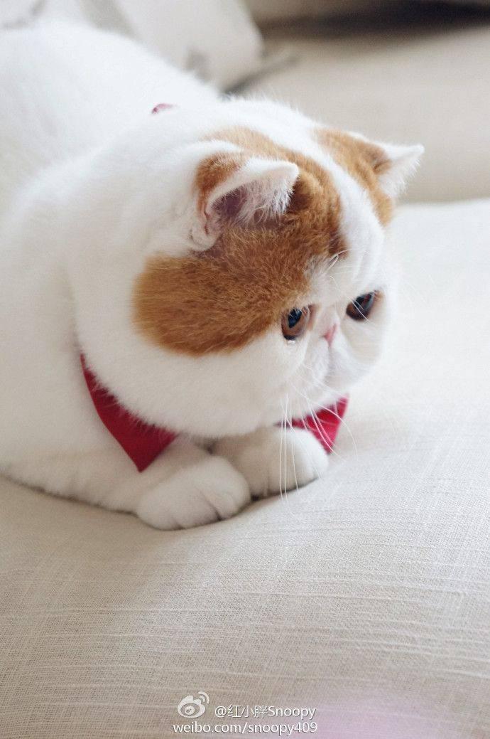 Персидская кошка для ленивых — экзотическая короткошерстная