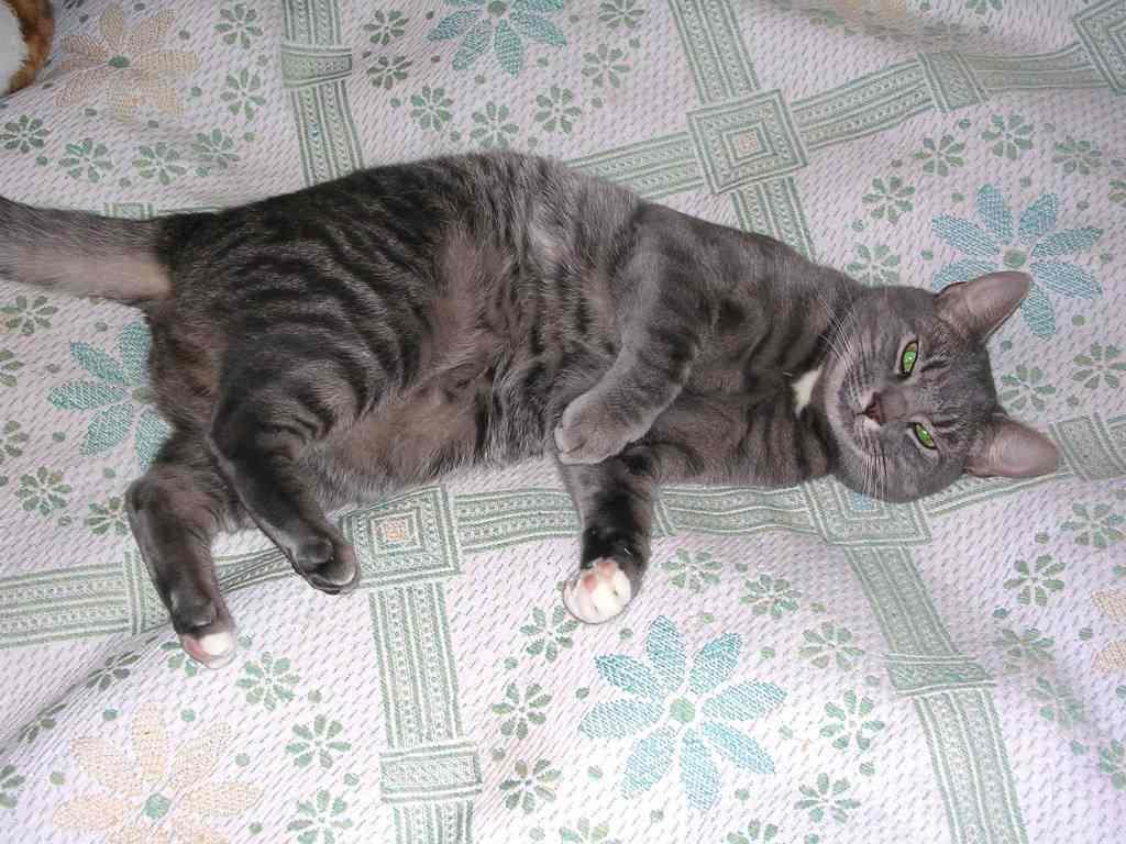 Почему у кошки висит живот? - zhivomag