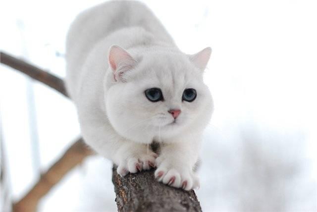 Характер британских котов
