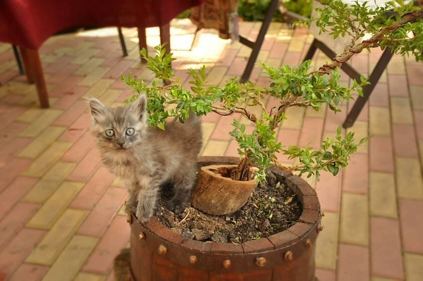 Кот или кошка ест землю - почему и что делать?