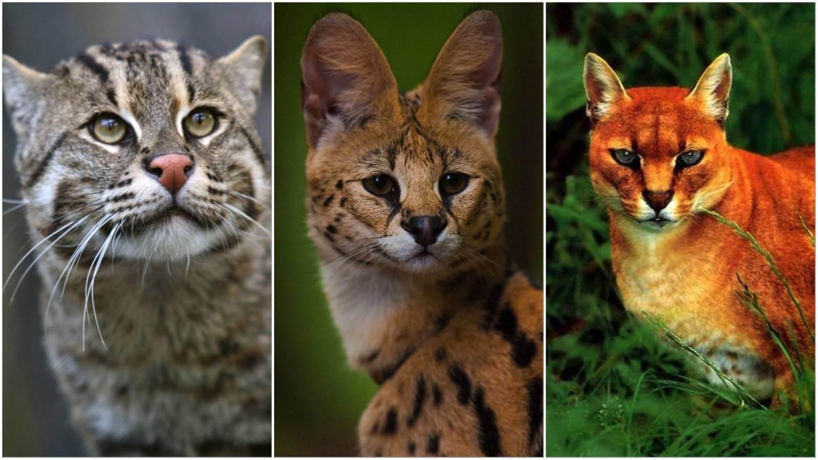 Лесной кот фото, описание, ареал, питание, враги