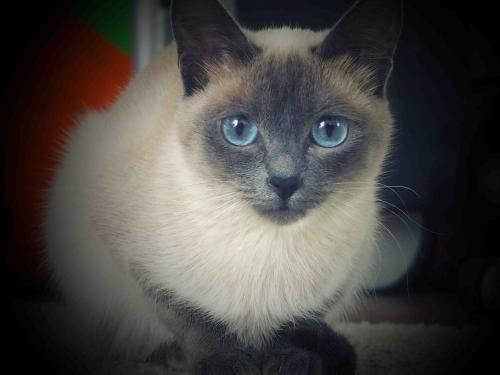 Как назвать породистого сиамского кота мальчика или девочку: список традиционных, популярных и экзотических кличек