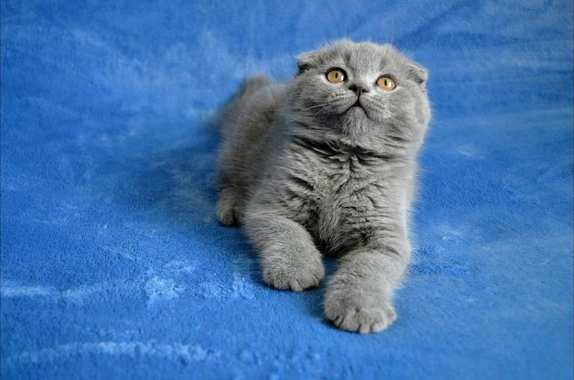 Вислоухие кошки — особенности породы, черты характера, уход
