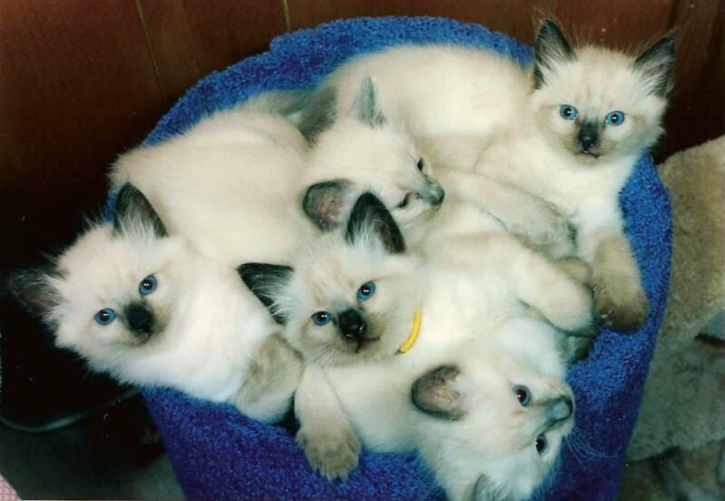 Сиамская кошка: описание породы с фото, особенности ухода и стоимость котят
