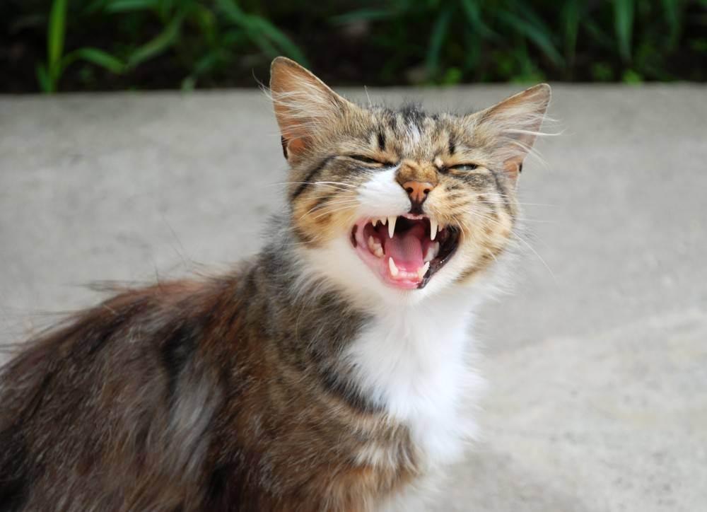 Стала агрессивная кошка: что делать, как успокоить животное?