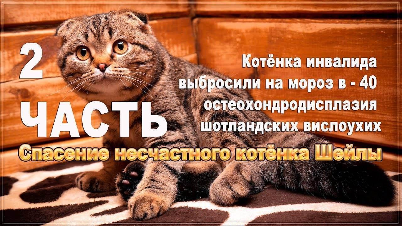 Симптомы и лечение остеохондродисплазии шотландских вислоухих кошек. остеохондродистрофия у шотландских вислоухих кошек