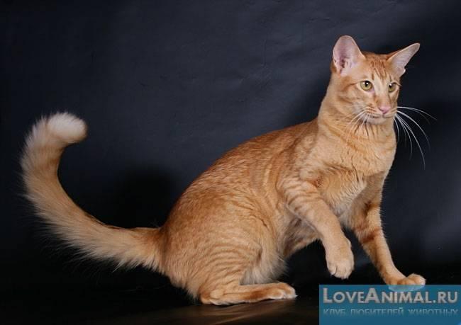Яванская (яванез) кошка: подробное описание, фото, купить, видео, цена, содержание дома