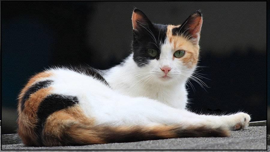 Трехцветная кошка - породы, генетика черепахового окраса, бывают ли трехшерстными коты