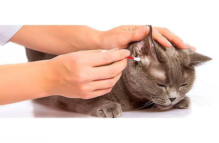 В ушах у кошки черный или коричневый налет: причины, диагностика и лечение в домашних условиях