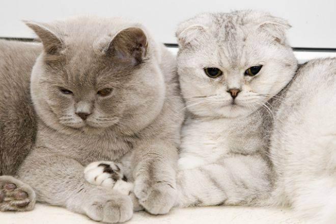 Таблица окрасов шотландских кошек