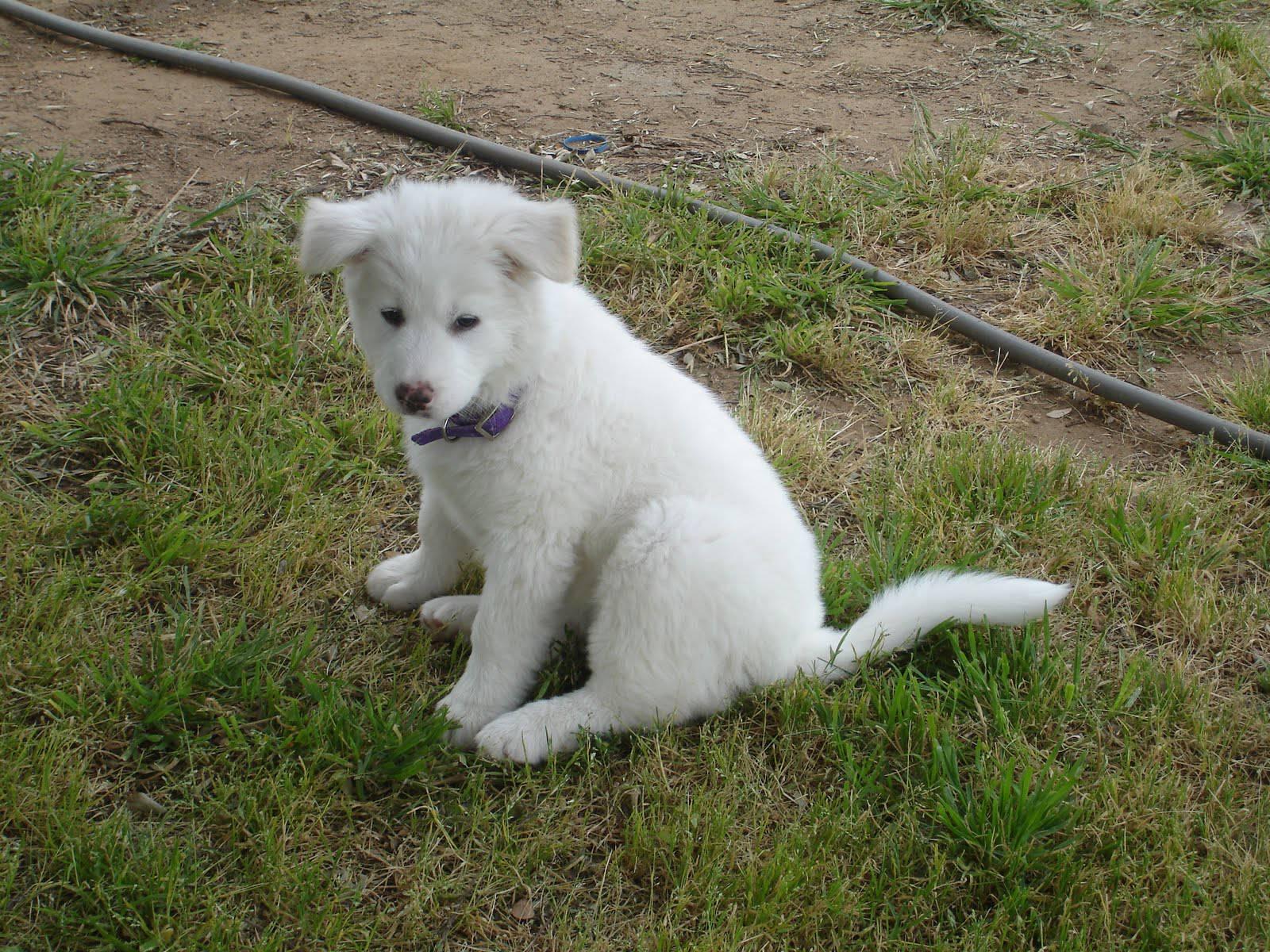 Акита-ину (японская акита) собака: фото, описание, характер, цены