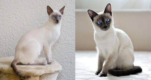 Порода кошек похожих на сиамских: сейшельская, тайская