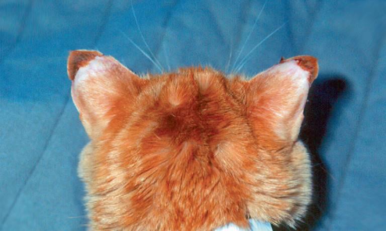 Очаговое симметричное облысение у кошки. эндокринная этиологии симметричного облысения. лечение симметричного облысения у кошки