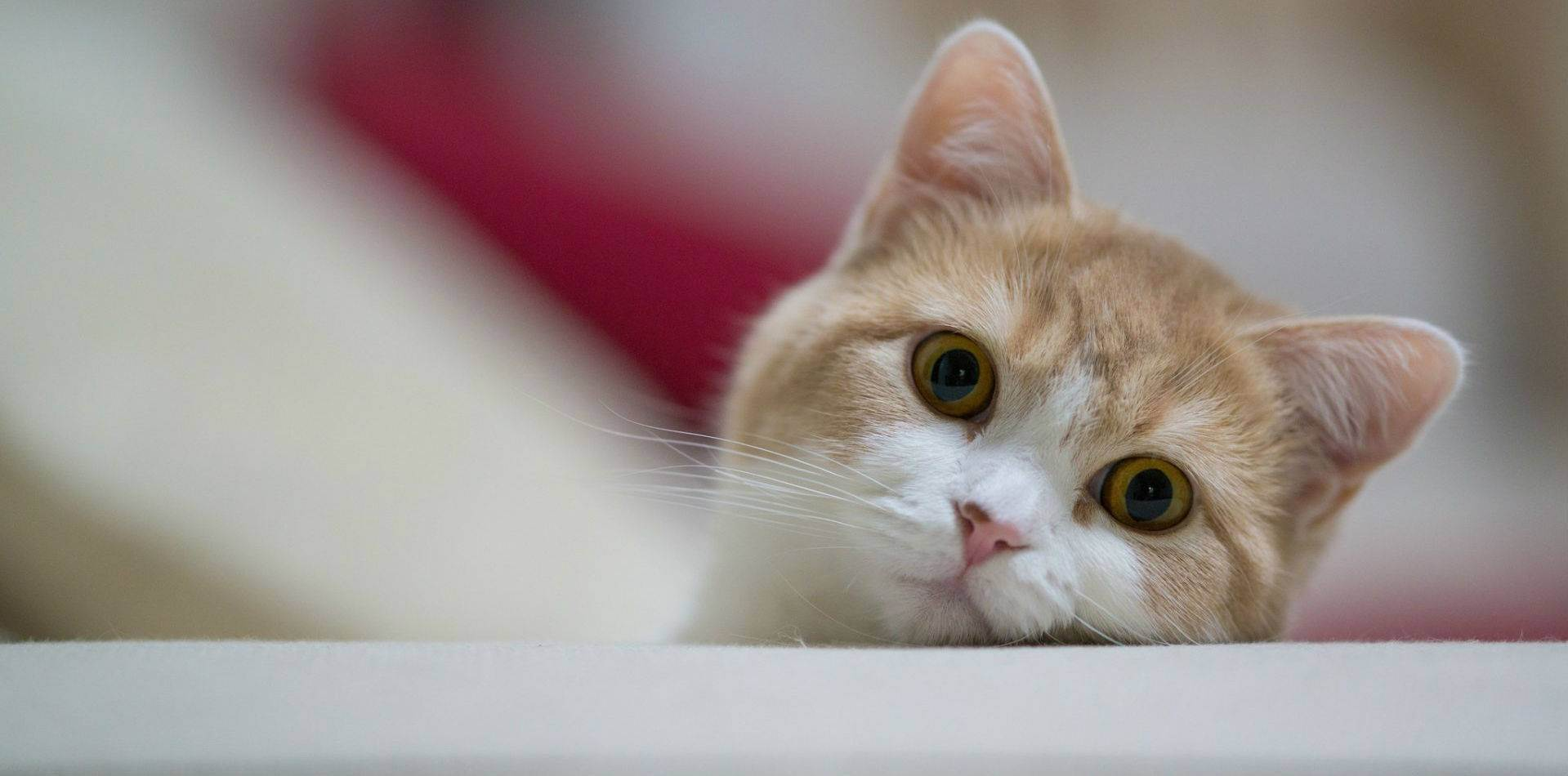 Преимущества и недостатки стерилизации кошки