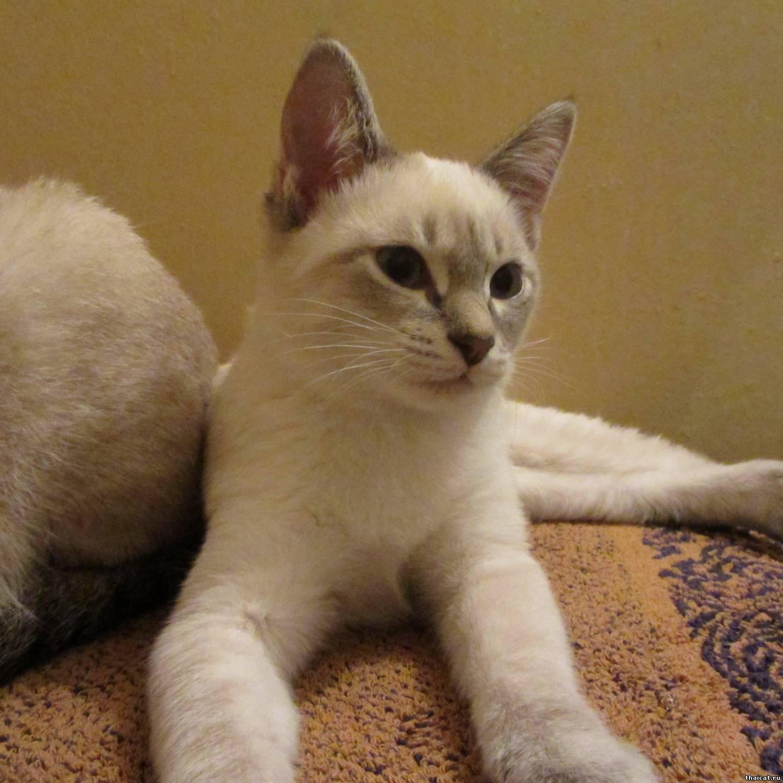 Колор-пойнт – популярная разновидность окраса британской, шотландской, персидской пород кошек