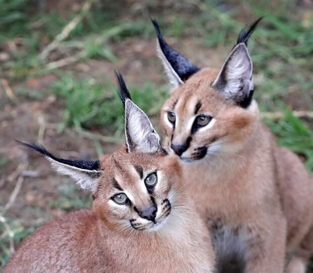 Барханный кот — самый маленький среди диких кошек