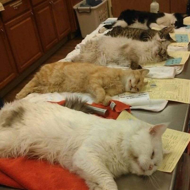 В каком возрасте стерилизуют кошек, когда лучше делать стерилизацию: советы ветеринаров