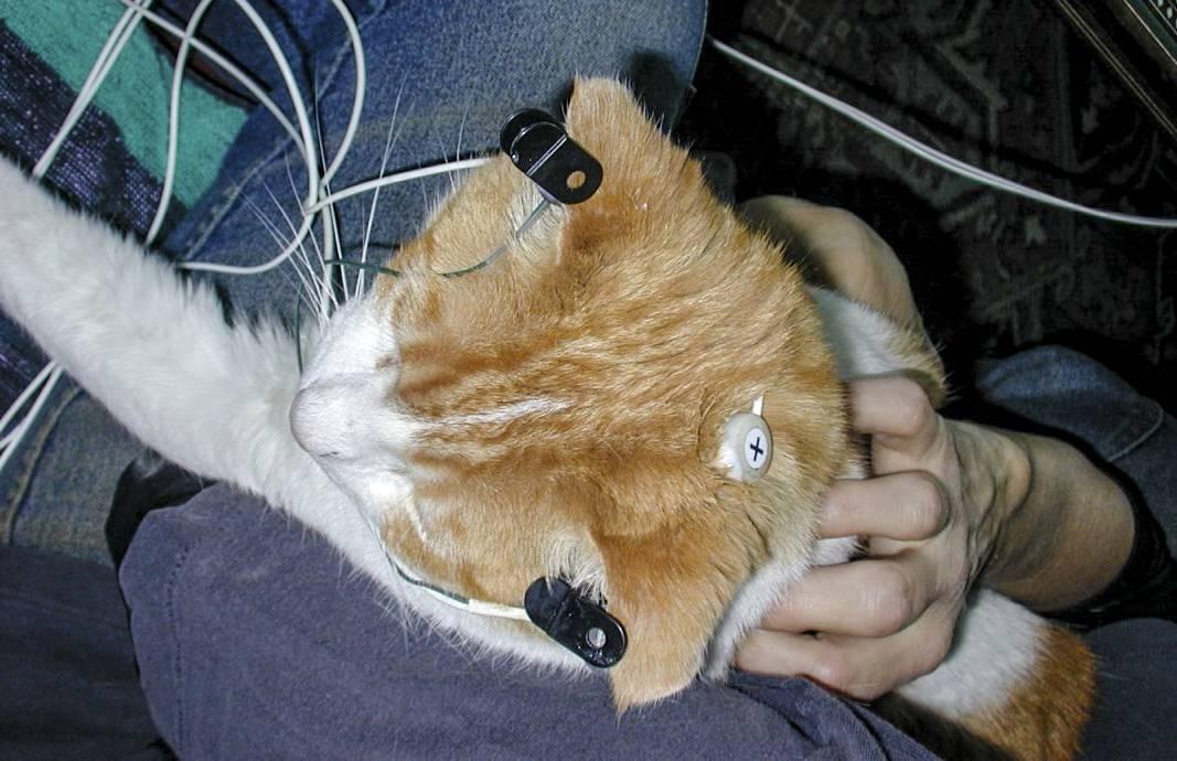 Эпилепсия у кошек и котов: симптомы, лечение