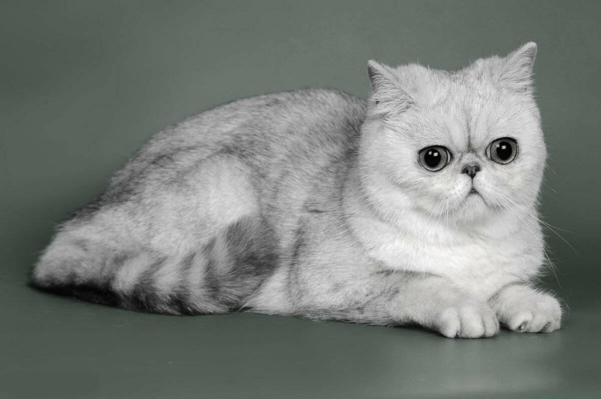 Кот с плоской мордой, порода с приплюснутым носом