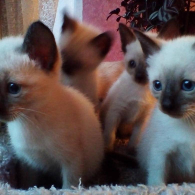Сиамская кошка – жемчужина тайской короны