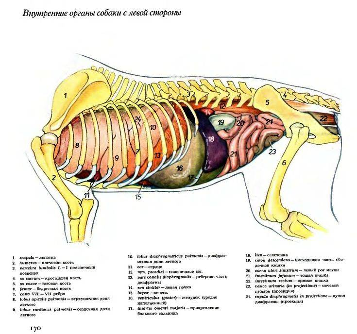 Анатомия кошки. скелет и внутренние органы кошки