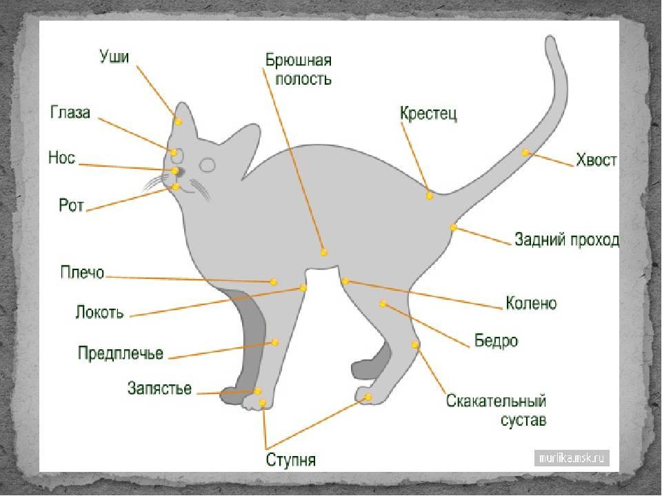 Холка у кошек и котов где находится