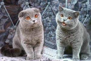 Разница между британцами и шотландцами кошки. чем отличается шотландская кошка от британской. шотландские кошки - трепетные домоседы