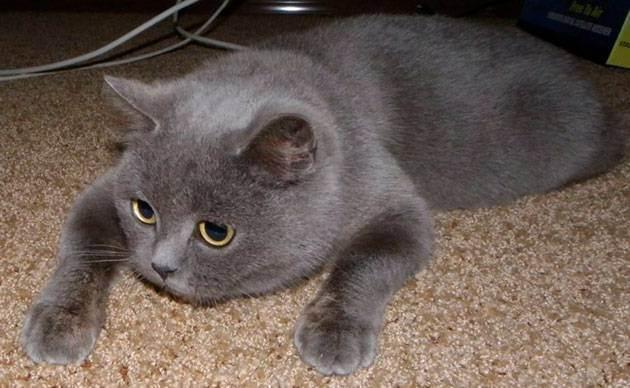 Сколько лет живут кастрированные британские коты