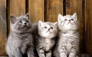 Список кличек для британских котов и кошек