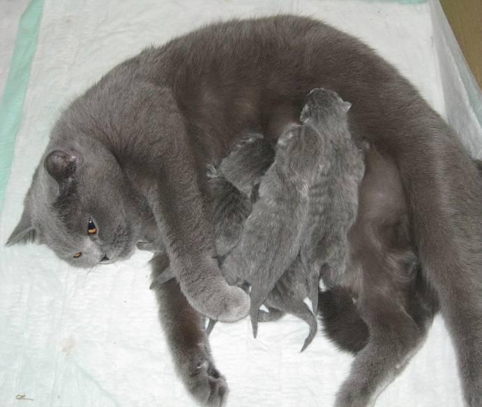 Сколько ходят британские беременные кошки: сроки, этапы и особенности по неделям