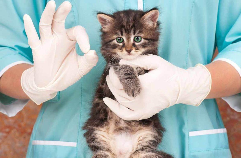 Практические советы: лечение стригущего лишая у кошек