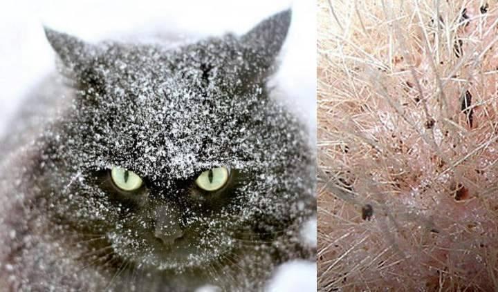 Перхоть у кошек: причины и лечение (с фото)
