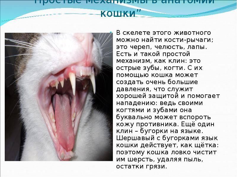 Зубы у кошек: заболевания и уход зубы у кошек: заболевания и уход