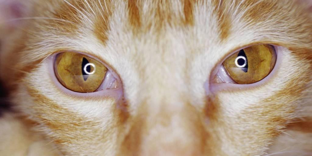 Третье веко у кошки на глазах: причины и лечение | фото, как лечить