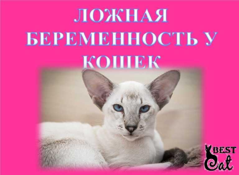 Ложная беременность у кошек — первые симптомы, варианты лечения и советы как избежать ложно беременности (90 фото)