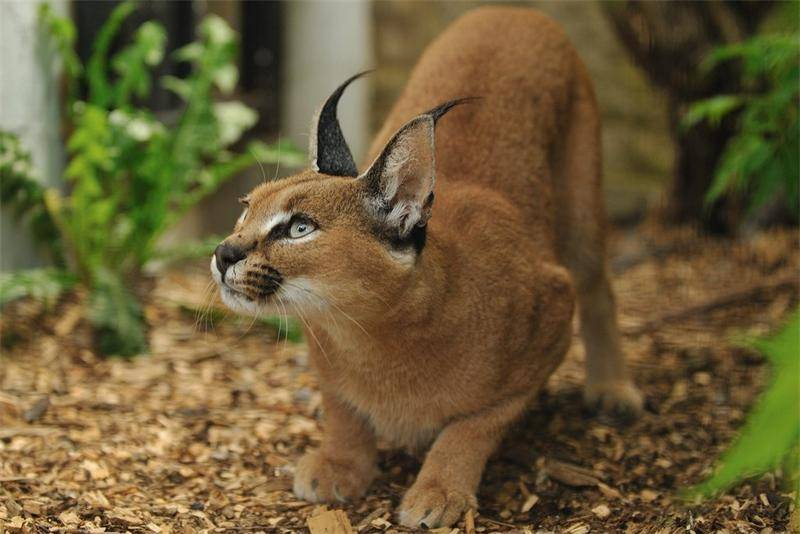 Каракал (пустынная рысь): 70 фото, описание, окрас, характер, стандарт породы
