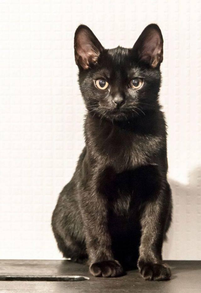Особенности содержания и описание кошек бомбейской породы, уход