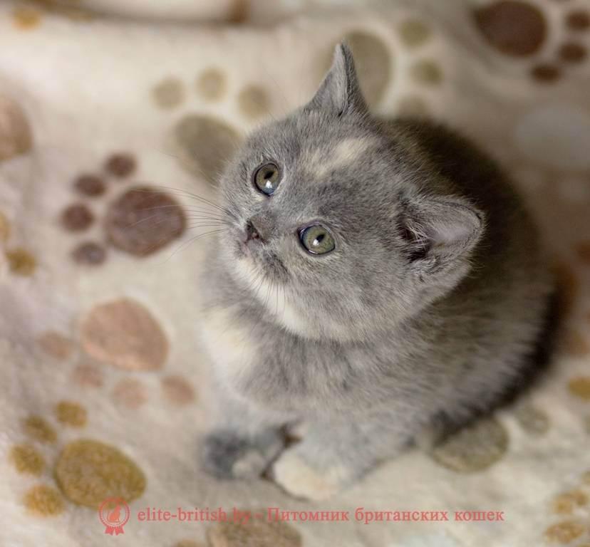 10 окрасов у кошек британской породы