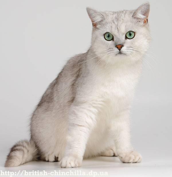 Кошки шиншиллы все виды с описанием