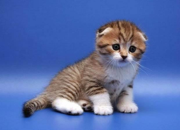 Тройная складка ушей у шотландских кошек. описание и особенности шотландских вислоухих кошек