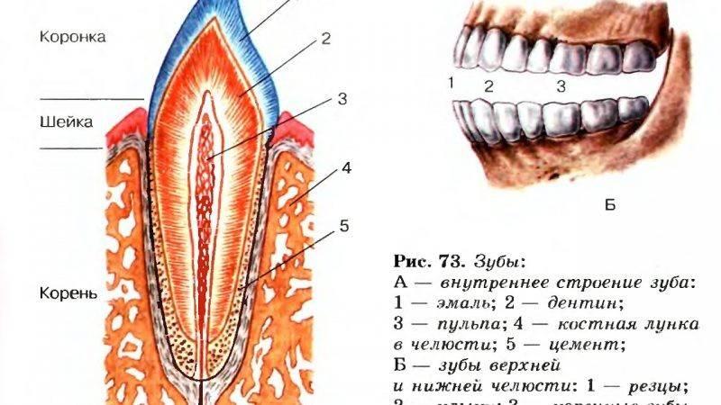 Зубы у кошек — строение, анатомия, фото