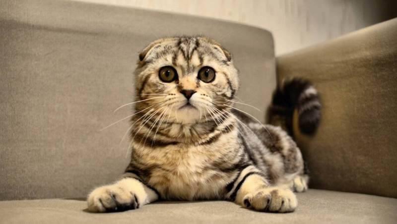 Какая порода кошек лучше всех ловит мышей и крыс