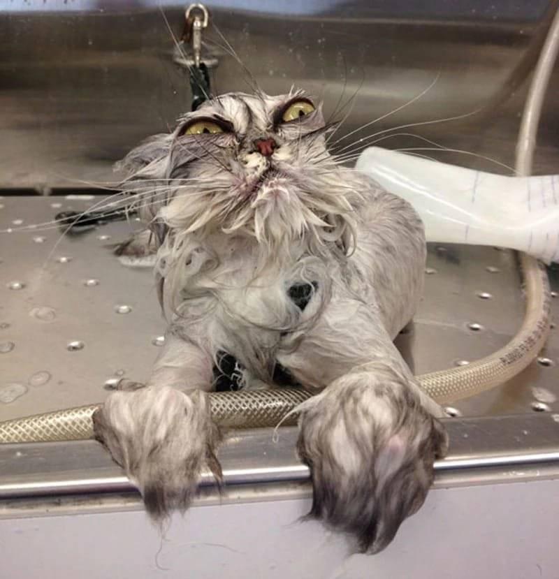 Нужно ли мыть кошку? инструкция как ее помыть