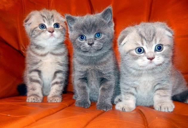 По сколько котят рожает шотландская кошка