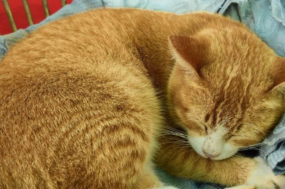 Рыжие коты и особенности их характера