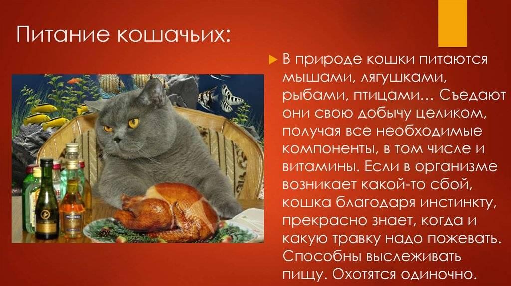 Чем кормить британскую кошку