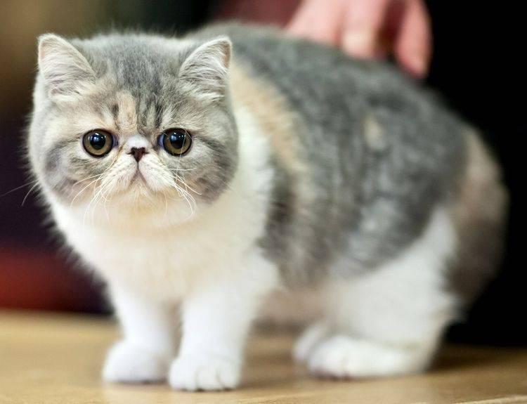 Какие породы кошек с приплюснутой мордой?