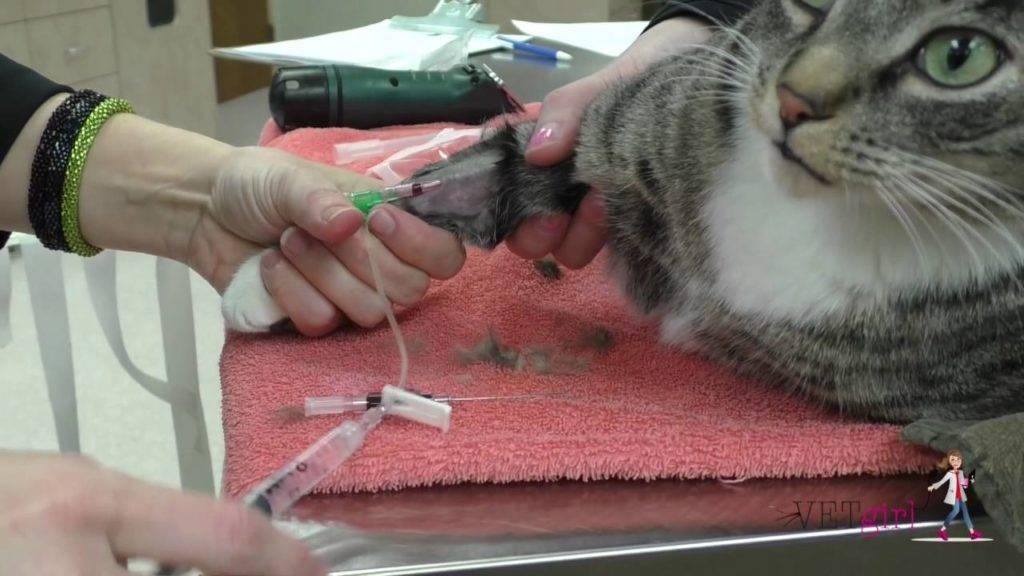 Как в домашних условиях правильно поставить коту подкожную капельницу